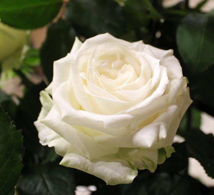 """白いバラ""""アバランチェ"""""""