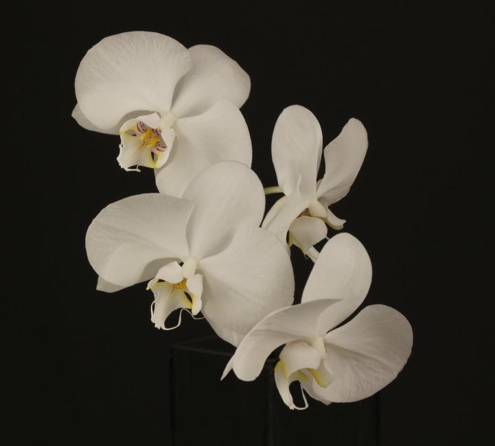 白い胡蝶蘭2