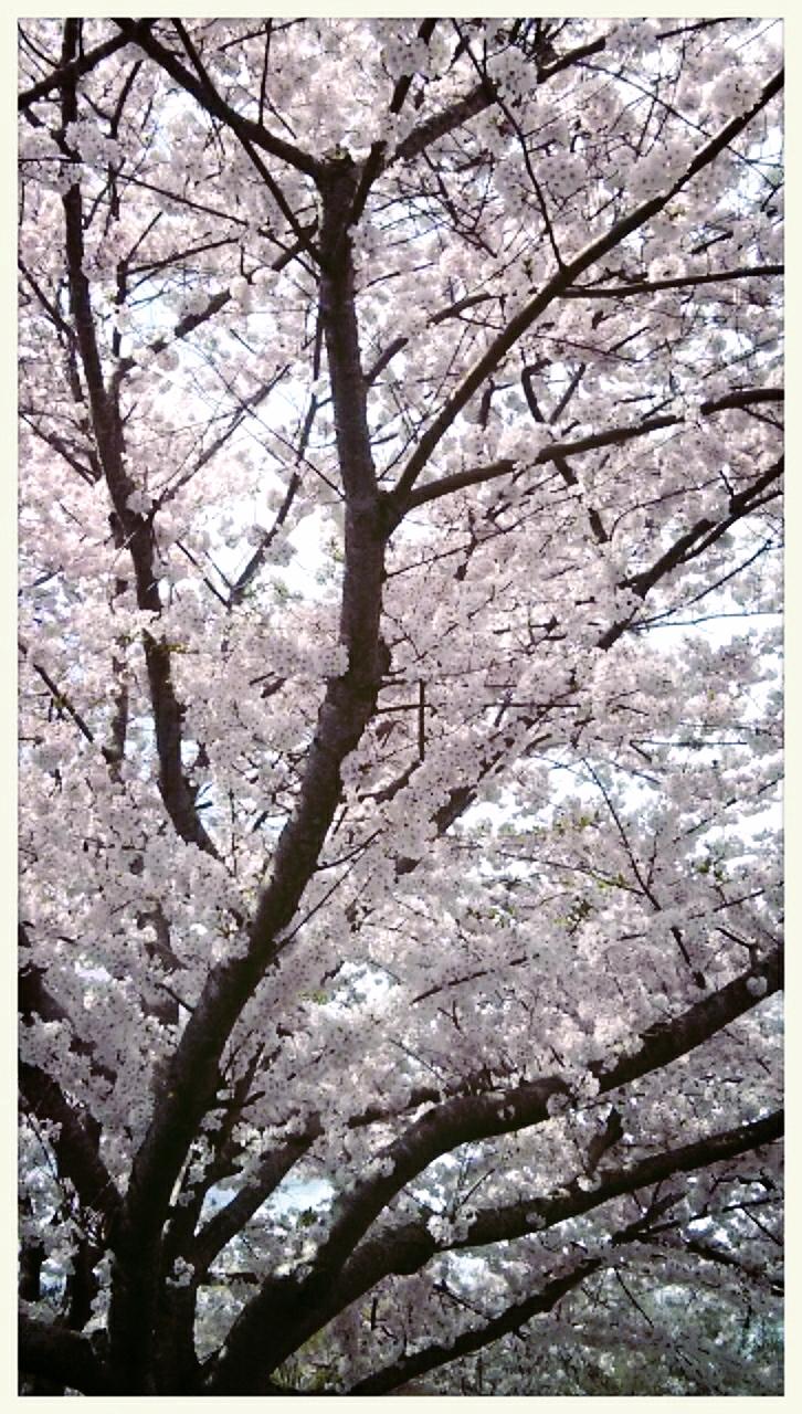 アトランタの桜