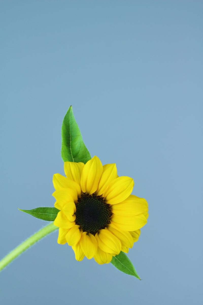 真冬でも向日葵